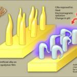 DESARROLLAN CILIOS ARTIFICIALES SENSIBLES A ESTIMULACIONES