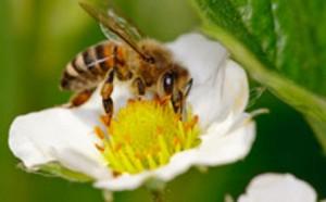 honeybee-m