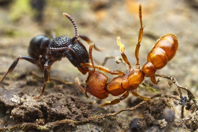 Resultado de imagen para hormigas argentinas